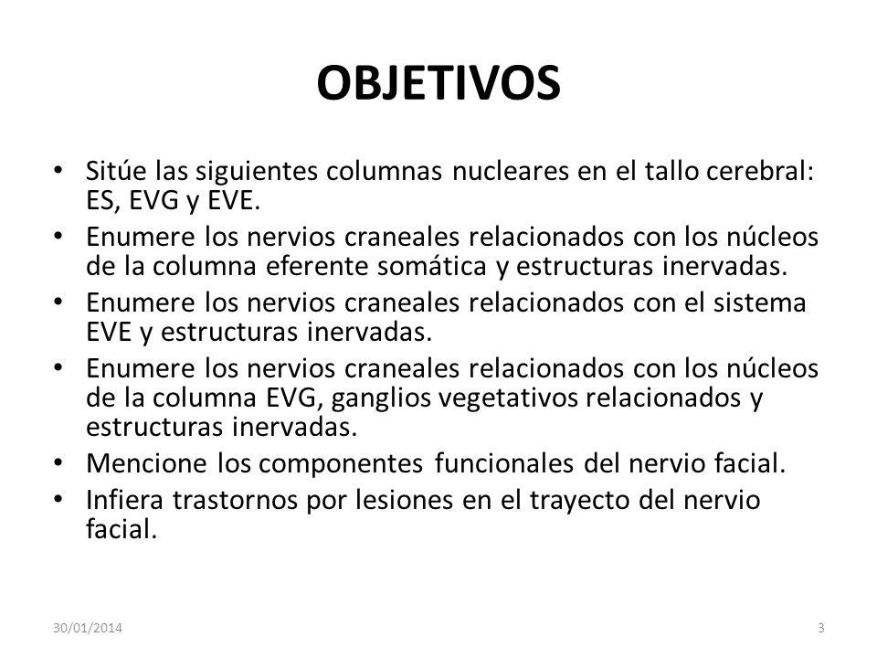 OBJETIVOS Sitúe las siguientes columnas nucleares en el tallo cerebral: ES, EVG y EVE.