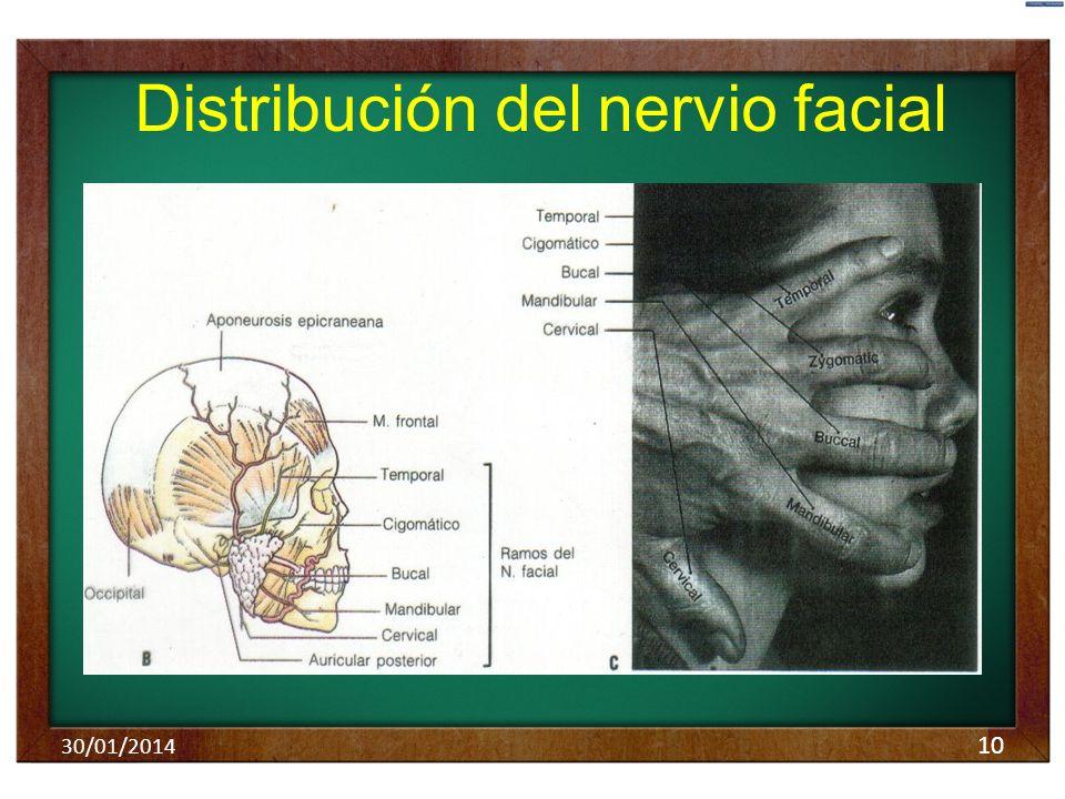 Distribución del nervio facial