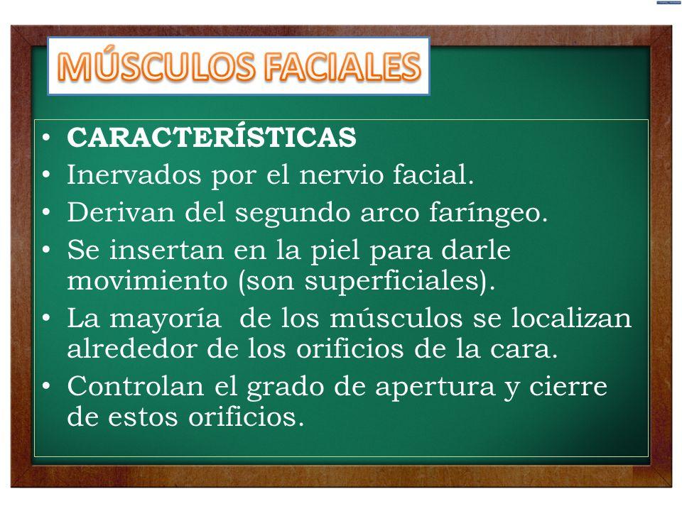 MÚSCULOS FACIALES CARACTERÍSTICAS Inervados por el nervio facial.