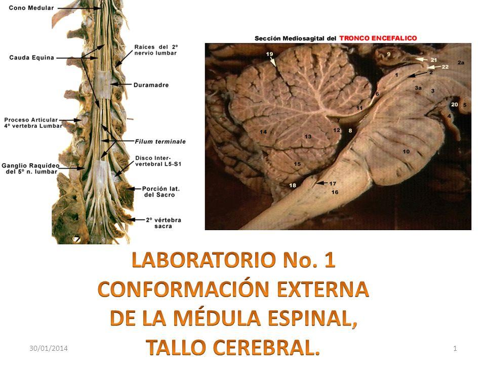 LABORATORIO No. 1 CONFORMACIÓN EXTERNA DE LA MÉDULA ESPINAL,
