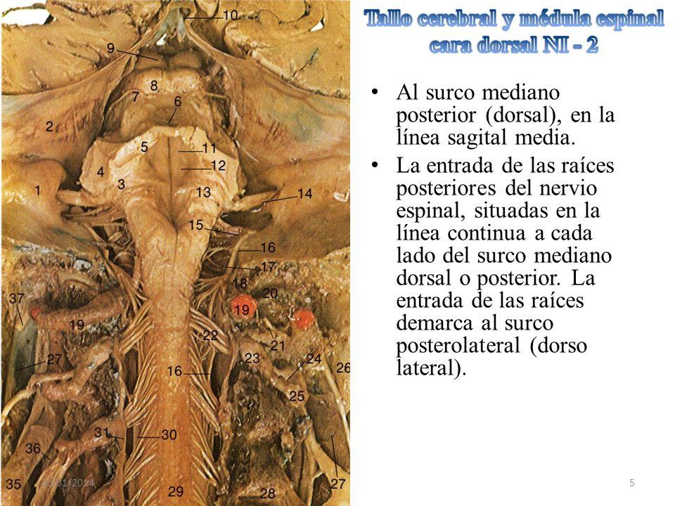 Tallo cerebral y médula espinal cara dorsal NI - 2