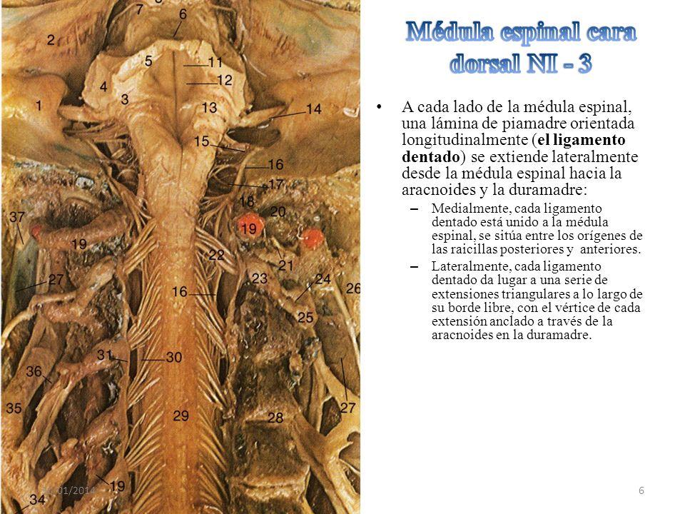 Médula espinal cara dorsal NI - 3