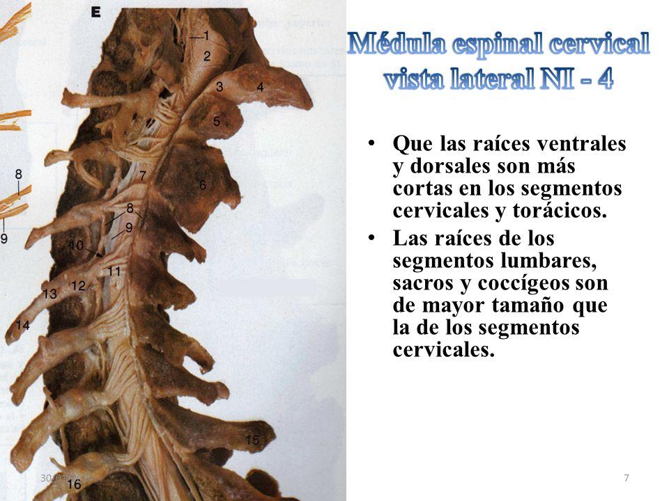 Médula espinal cervical vista lateral NI - 4