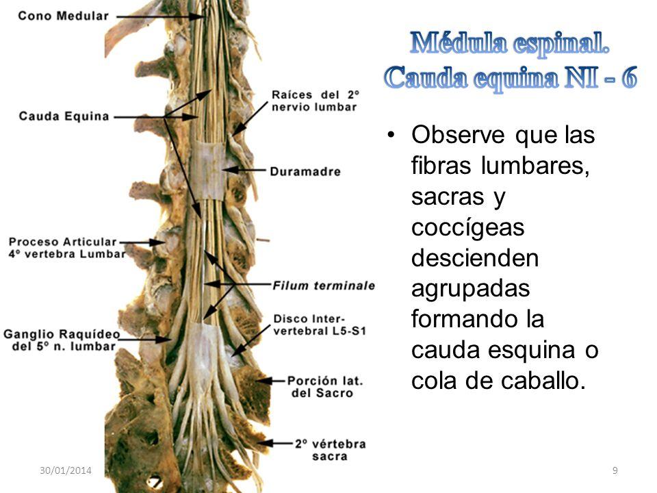 Médula espinal. Cauda equina NI - 6