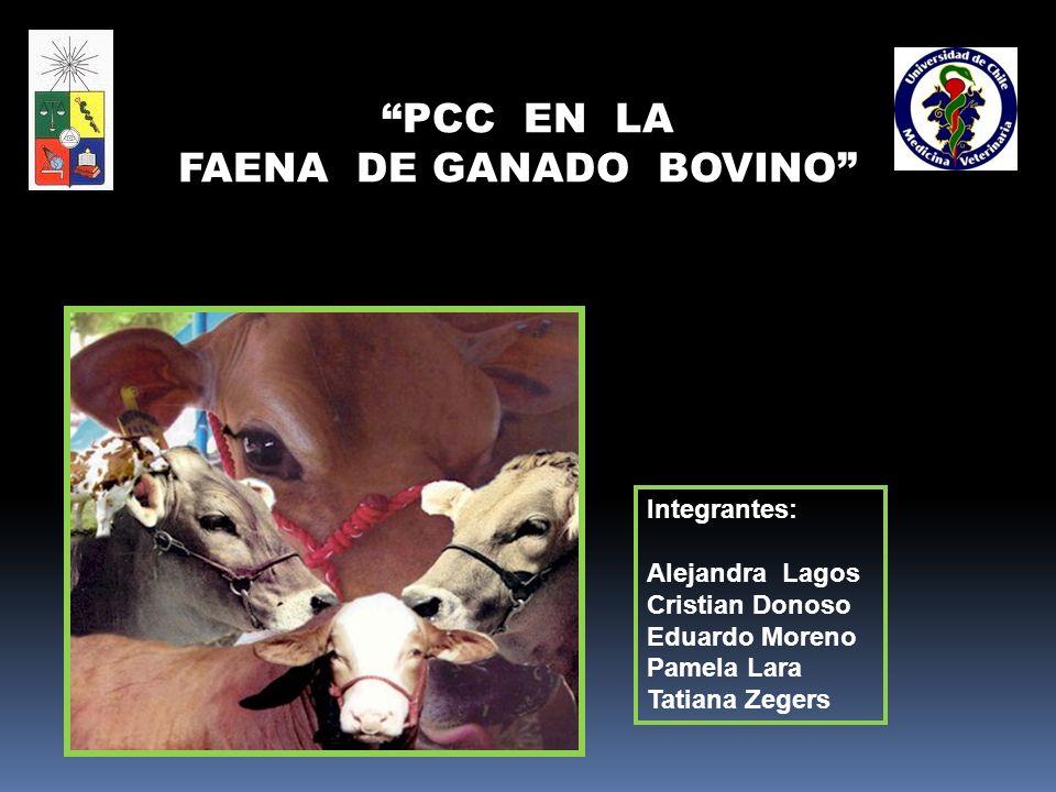 FAENA DE GANADO BOVINO