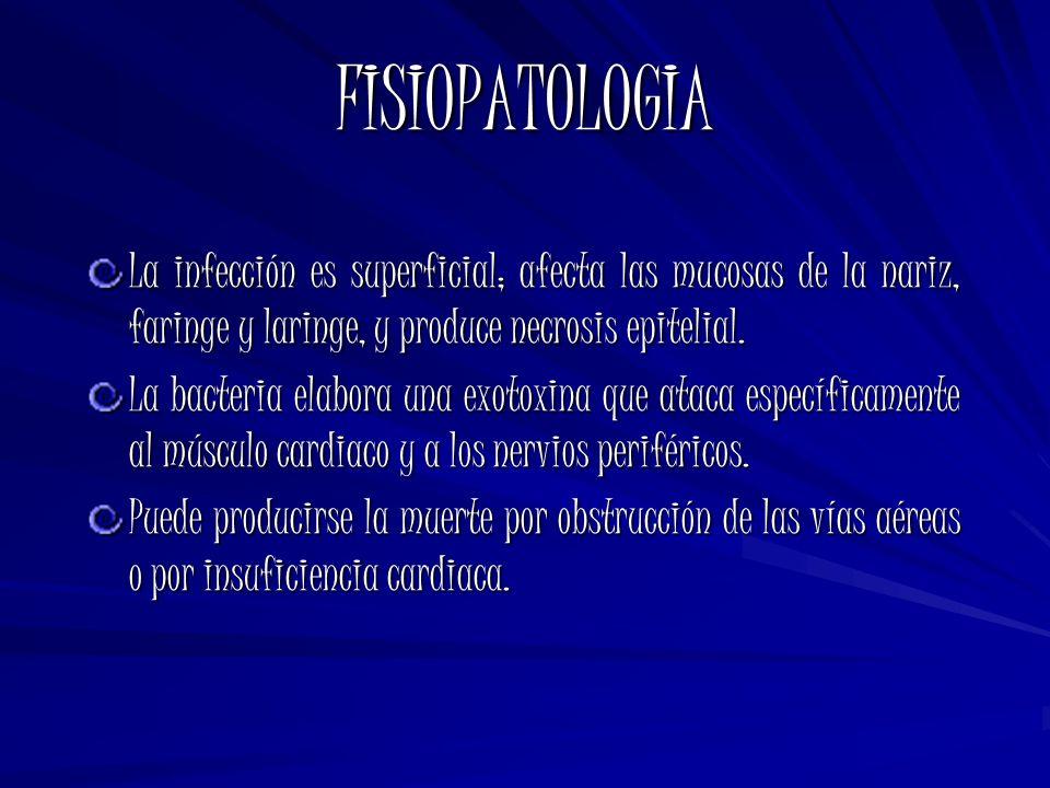 FISIOPATOLOGIA La infección es superficial; afecta las mucosas de la nariz, faringe y laringe, y produce necrosis epitelial.