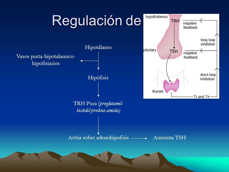 Regulación de TSH: Hipotálamo Vasos porta-hipotalamico-hipofisiarios