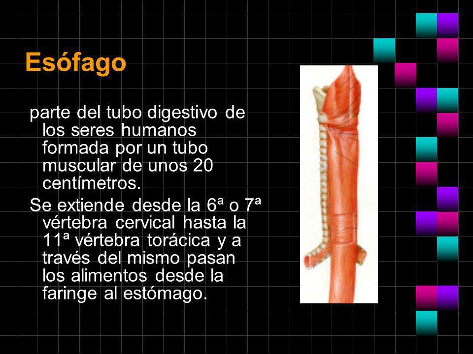 Esófagoparte del tubo digestivo de los seres humanos formada por un tubo muscular de unos 20 centímetros.
