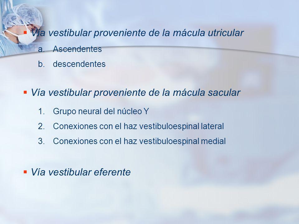 Vía vestibular proveniente de la mácula utricular
