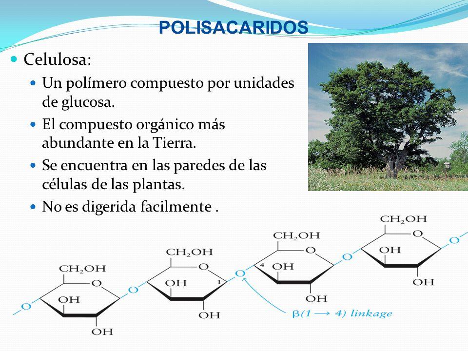 POLISACARIDOS Celulosa: Un polímero compuesto por unidades de glucosa.