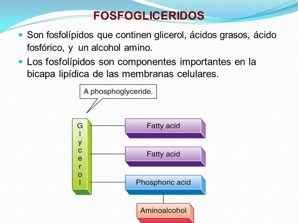 FOSFOGLICERIDOS Son fosfolípidos que continen glicerol, ácidos grasos, ácido fosfórico, y un alcohol amino.