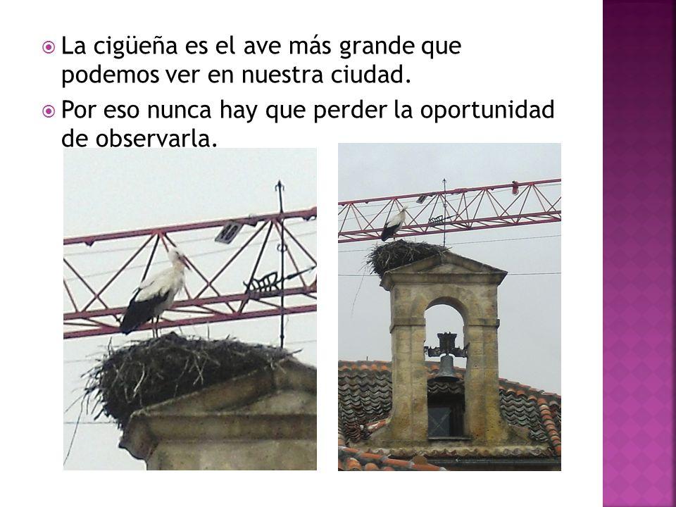 La cigüeña es el ave más grande que podemos ver en nuestra ciudad.
