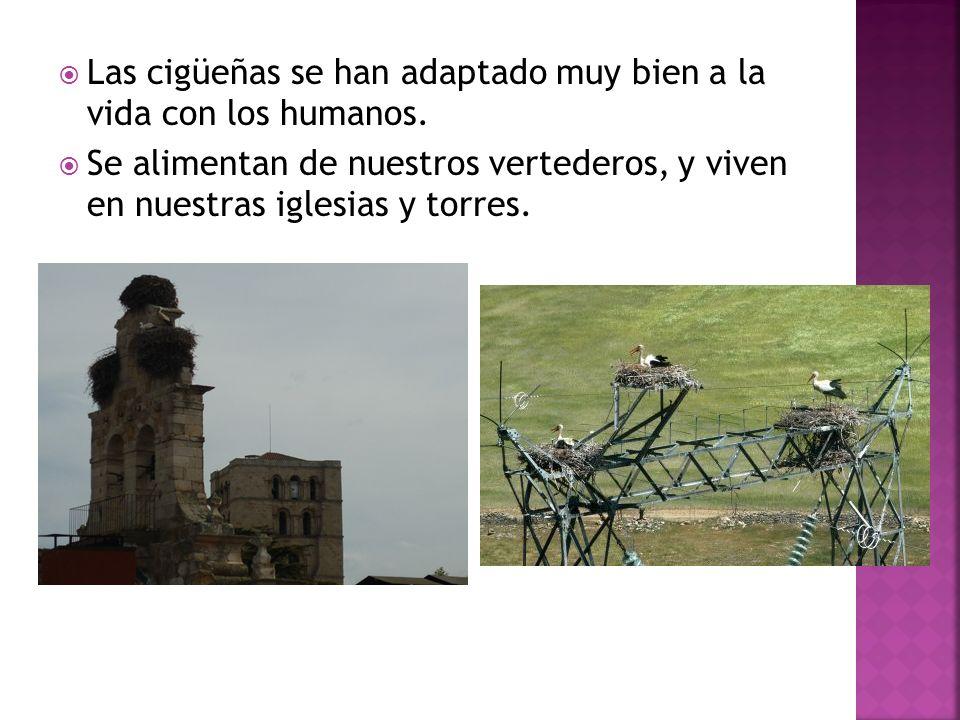 Las cigüeñas se han adaptado muy bien a la vida con los humanos.