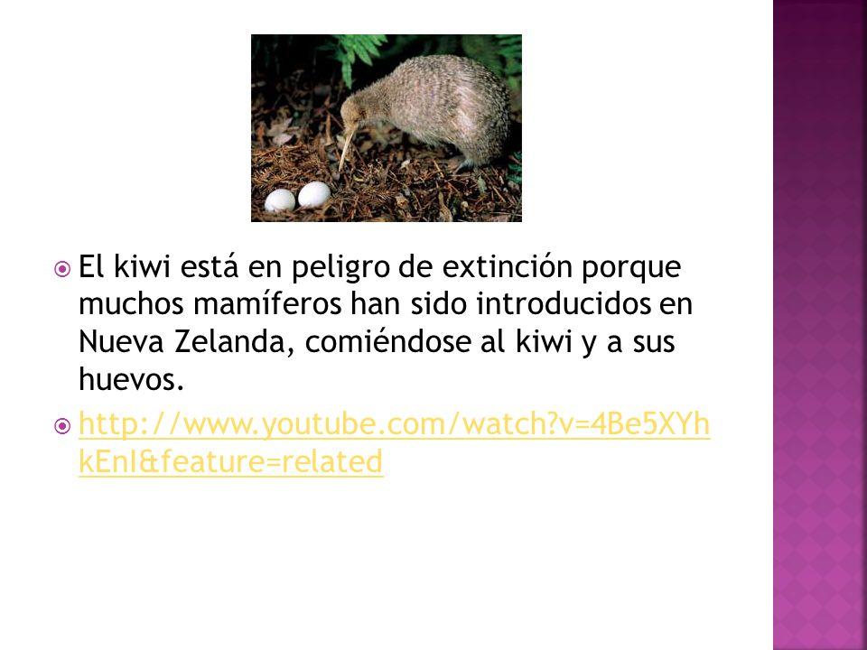 El kiwi está en peligro de extinción porque muchos mamíferos han sido introducidos en Nueva Zelanda, comiéndose al kiwi y a sus huevos.