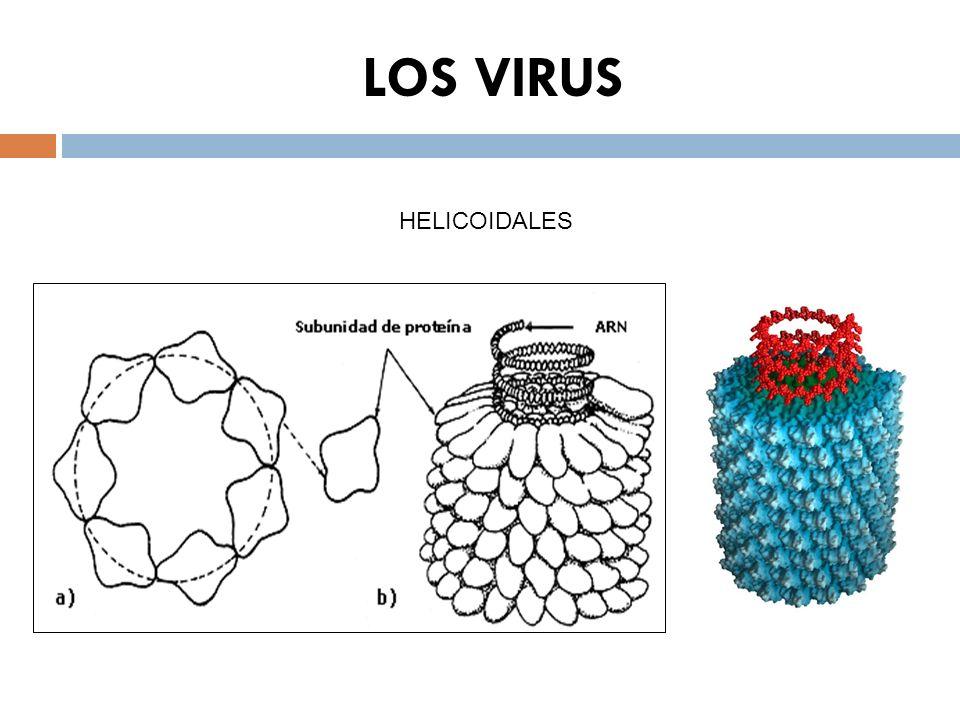 LOS VIRUS HELICOIDALES