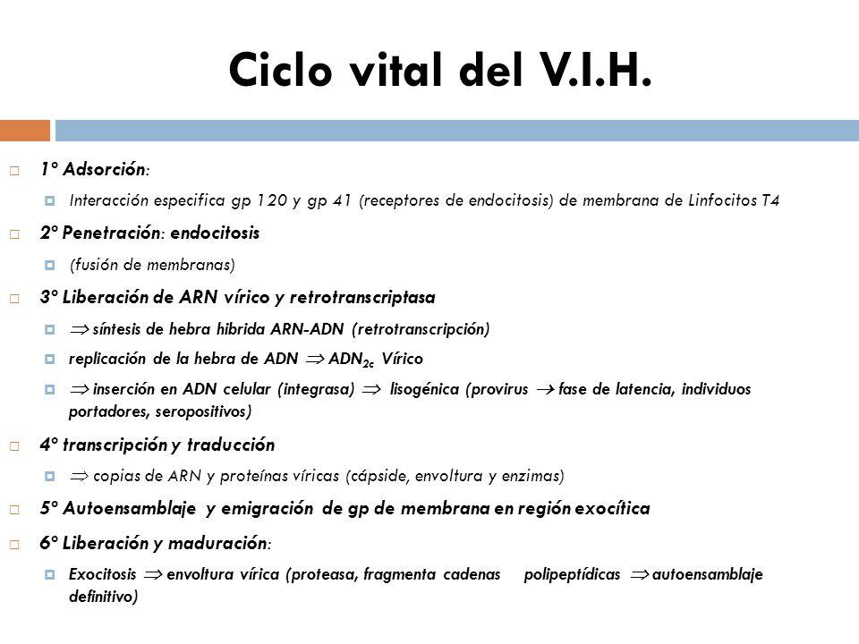 Ciclo vital del V.I.H. 1º Adsorción: 2º Penetración: endocitosis
