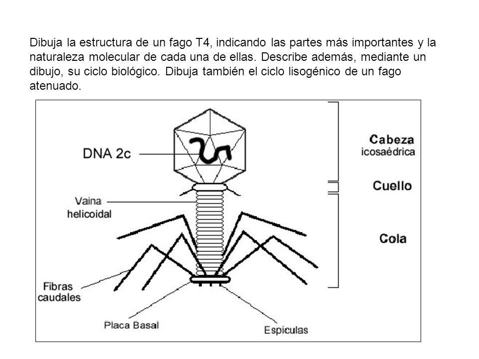 Dibuja la estructura de un fago T4, indicando las partes más importantes y la naturaleza molecular de cada una de ellas.