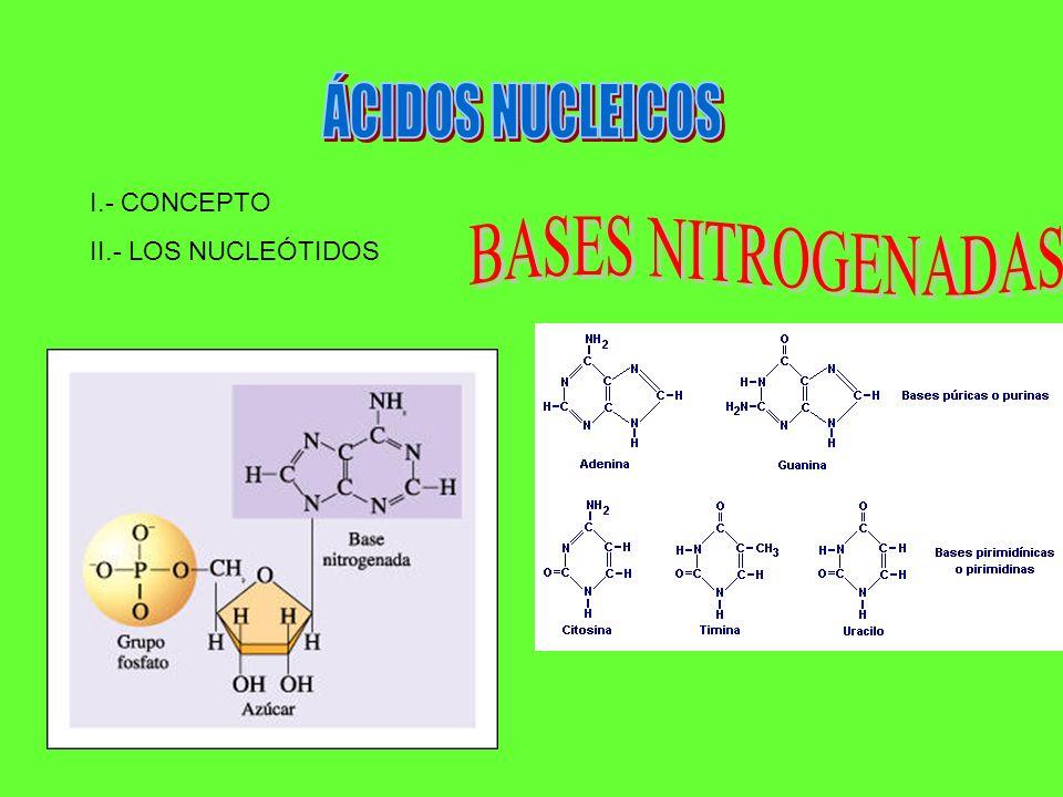 ÁCIDOS NUCLEICOS I.- CONCEPTO II.- LOS NUCLEÓTIDOS BASES NITROGENADAS