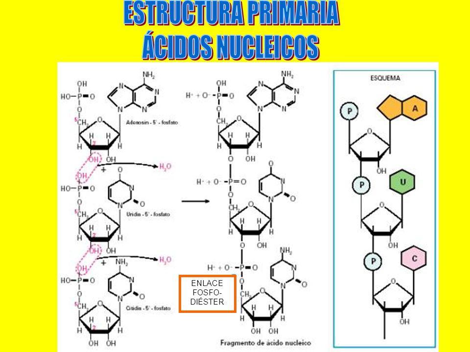 ESTRUCTURA PRIMARIA ÁCIDOS NUCLEICOS ENLACE FOSFO-DIÉSTER