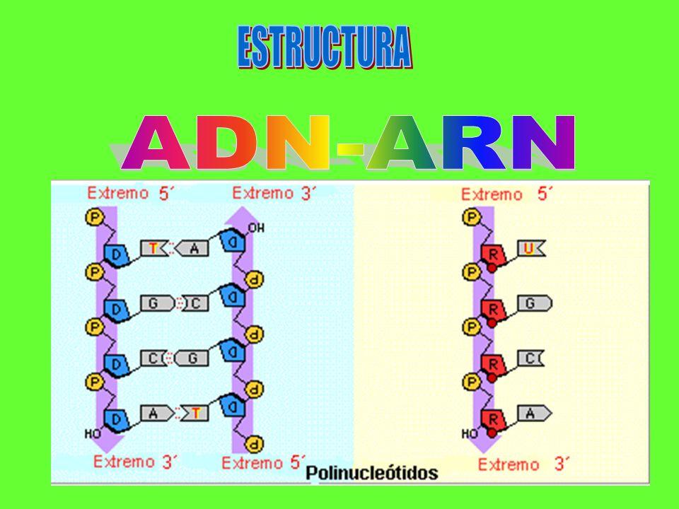 ESTRUCTURA ADN-ARN