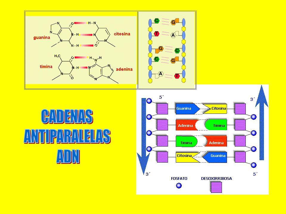 CADENAS ANTIPARALELAS ADN