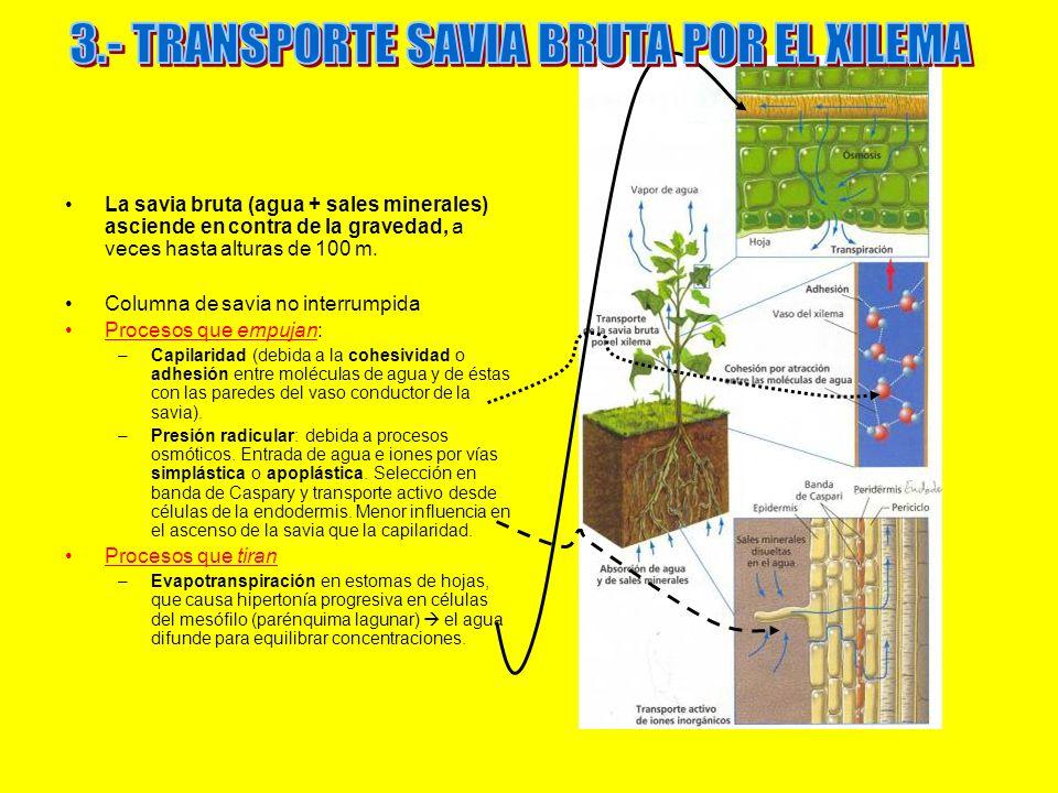 3.- TRANSPORTE SAVIA BRUTA POR EL XILEMA