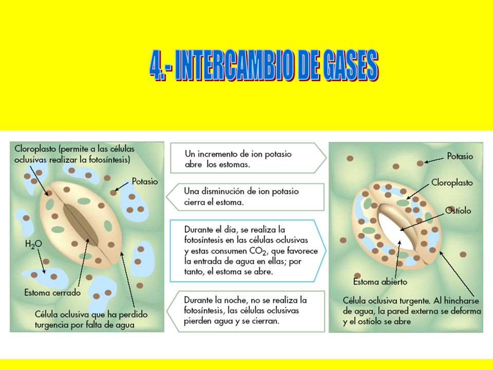 4.- INTERCAMBIO DE GASES