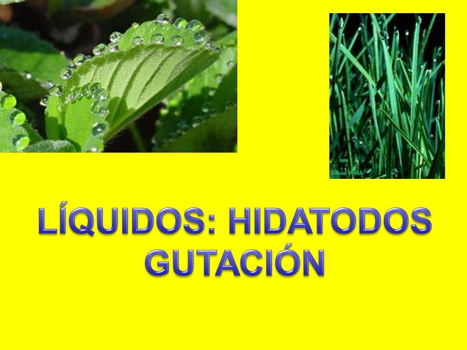 LÍQUIDOS: HIDATODOS GUTACIÓN