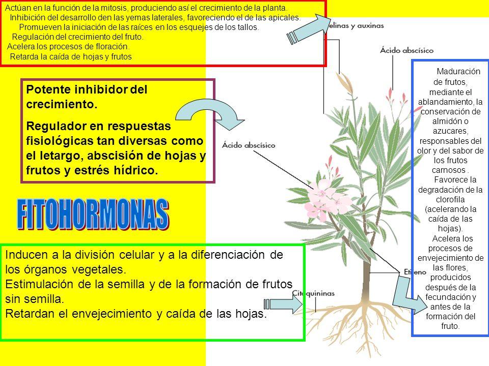 Actúan en la función de la mitosis, produciendo así el crecimiento de la planta.