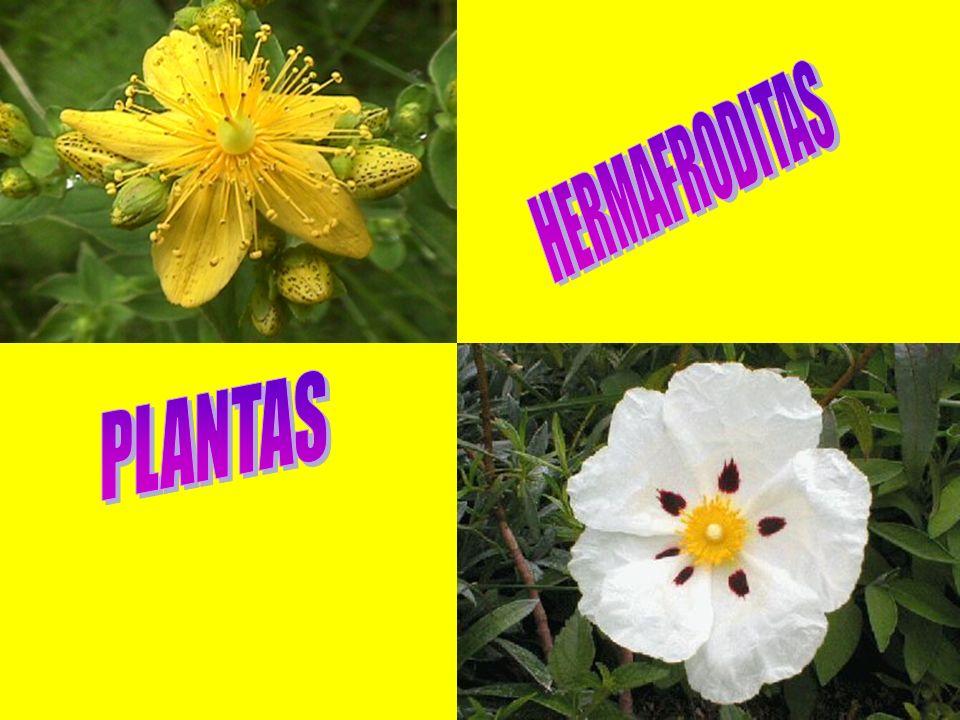 HERMAFRODITAS PLANTAS