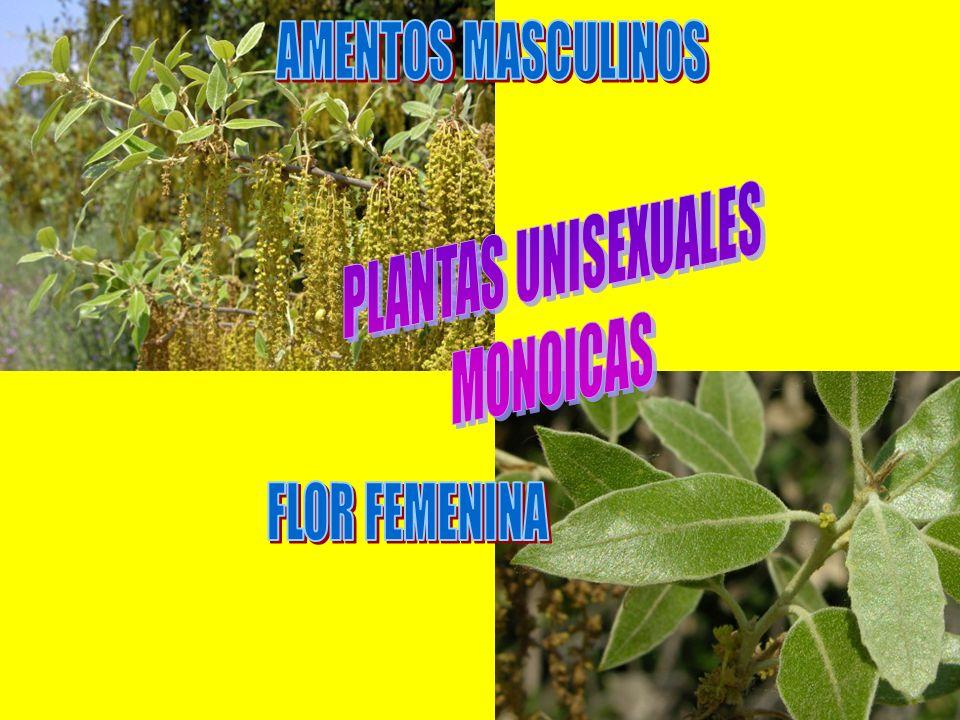 AMENTOS MASCULINOS PLANTAS UNISEXUALES MONOICAS FLOR FEMENINA