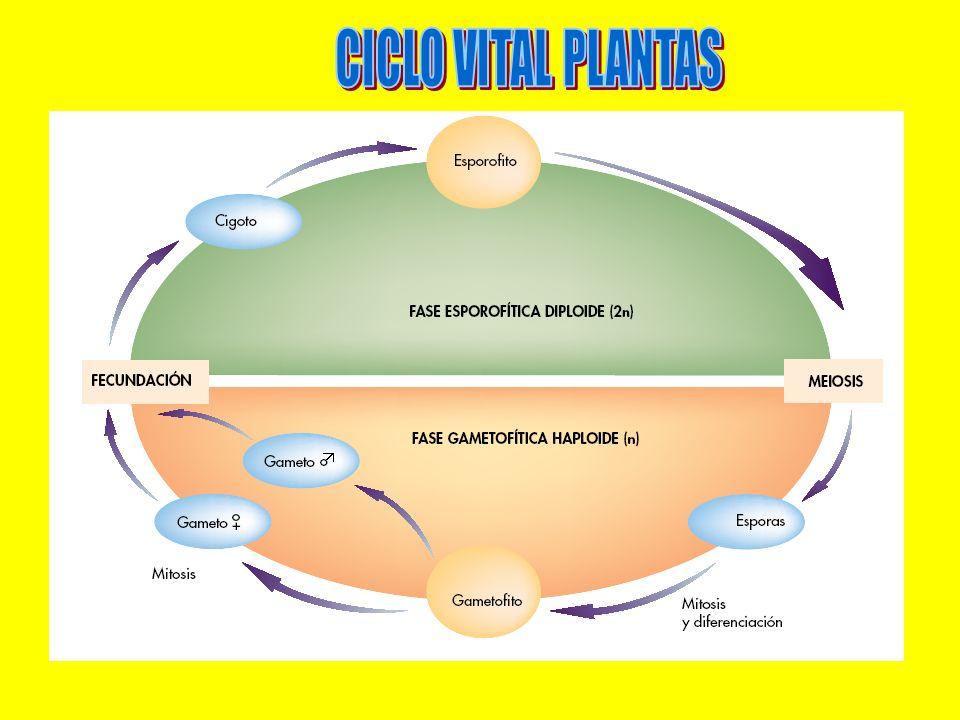 CICLO VITAL PLANTAS