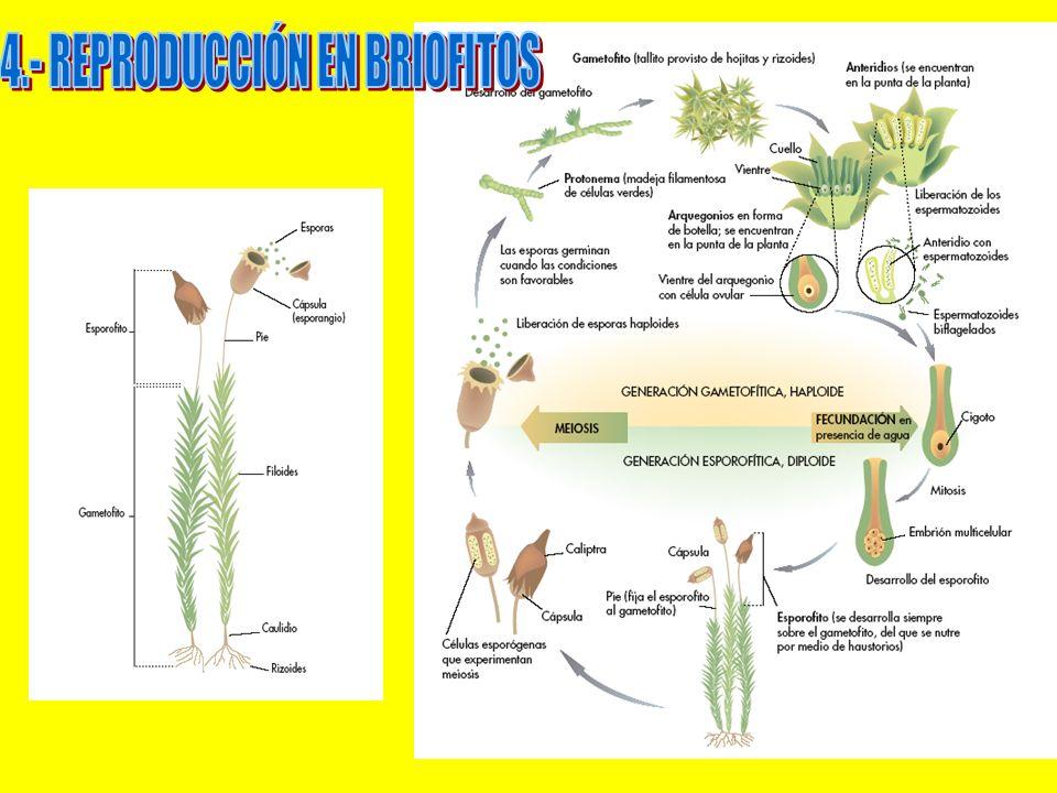 4.- REPRODUCCIÓN EN BRIOFITOS