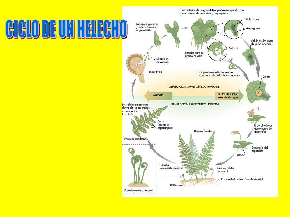 CICLO DE UN HELECHO
