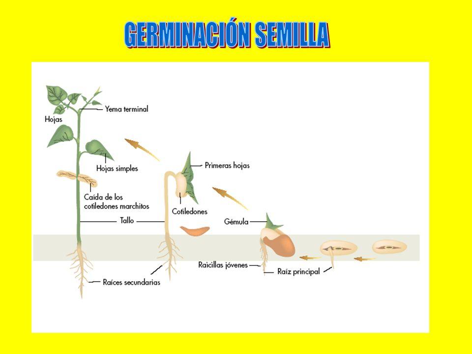 GERMINACIÓN SEMILLA
