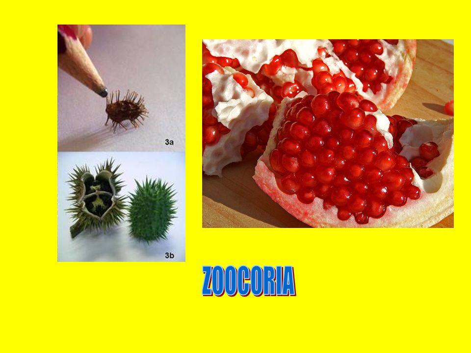 ZOOCORIA