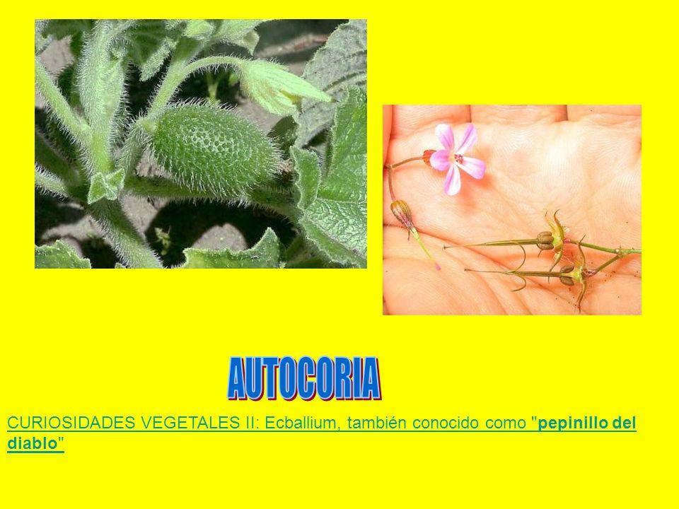AUTOCORIA CURIOSIDADES VEGETALES II: Ecballium, también conocido como pepinillo del diablo