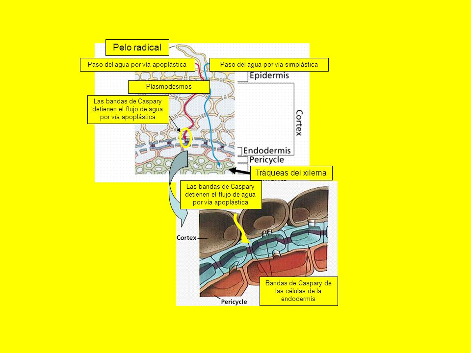 Pelo radical Tráqueas del xilema Paso del agua por vía apoplástica