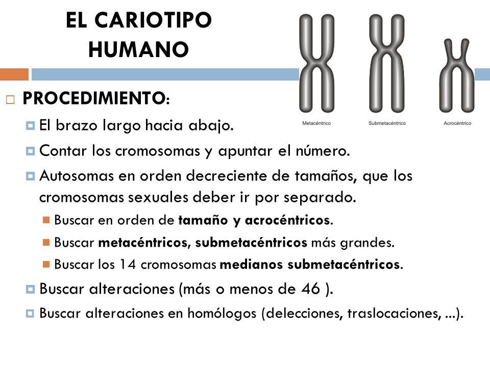 EL CARIOTIPO HUMANO PROCEDIMIENTO: El brazo largo hacia abajo.