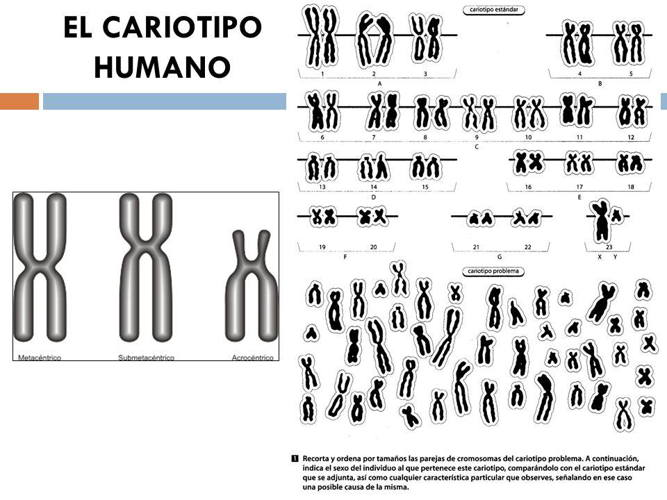 EL CARIOTIPO HUMANO