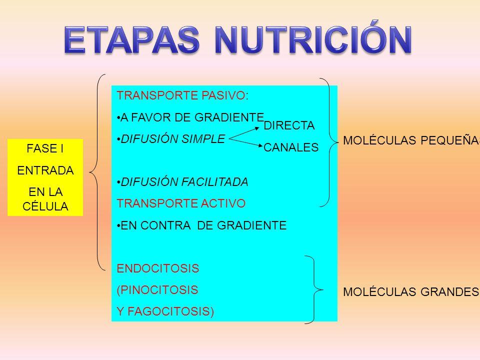 ETAPAS NUTRICIÓN TRANSPORTE PASIVO: A FAVOR DE GRADIENTE
