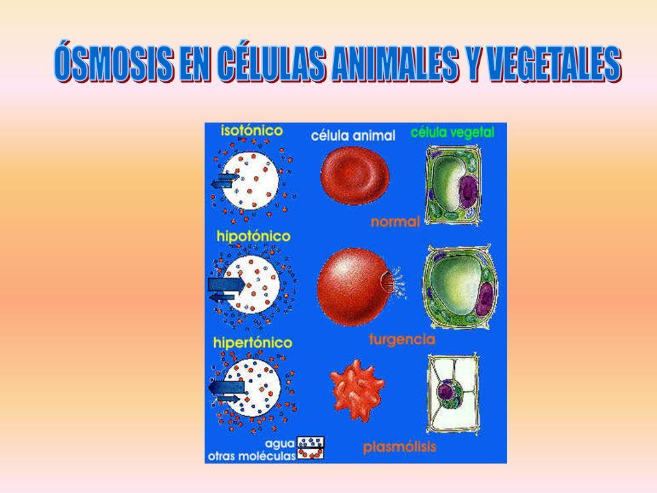 ÓSMOSIS EN CÉLULAS ANIMALES Y VEGETALES