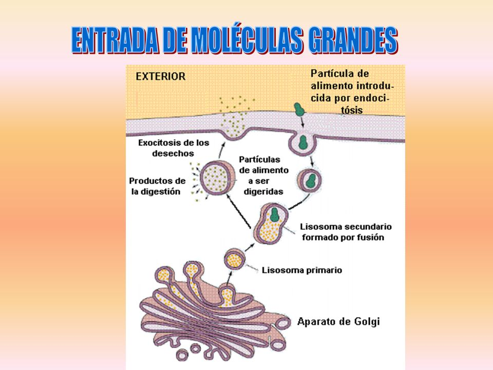 ENTRADA DE MOLÉCULAS GRANDES