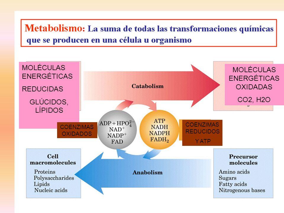 MOLÉCULAS ENERGÉTICASOXIDADAS