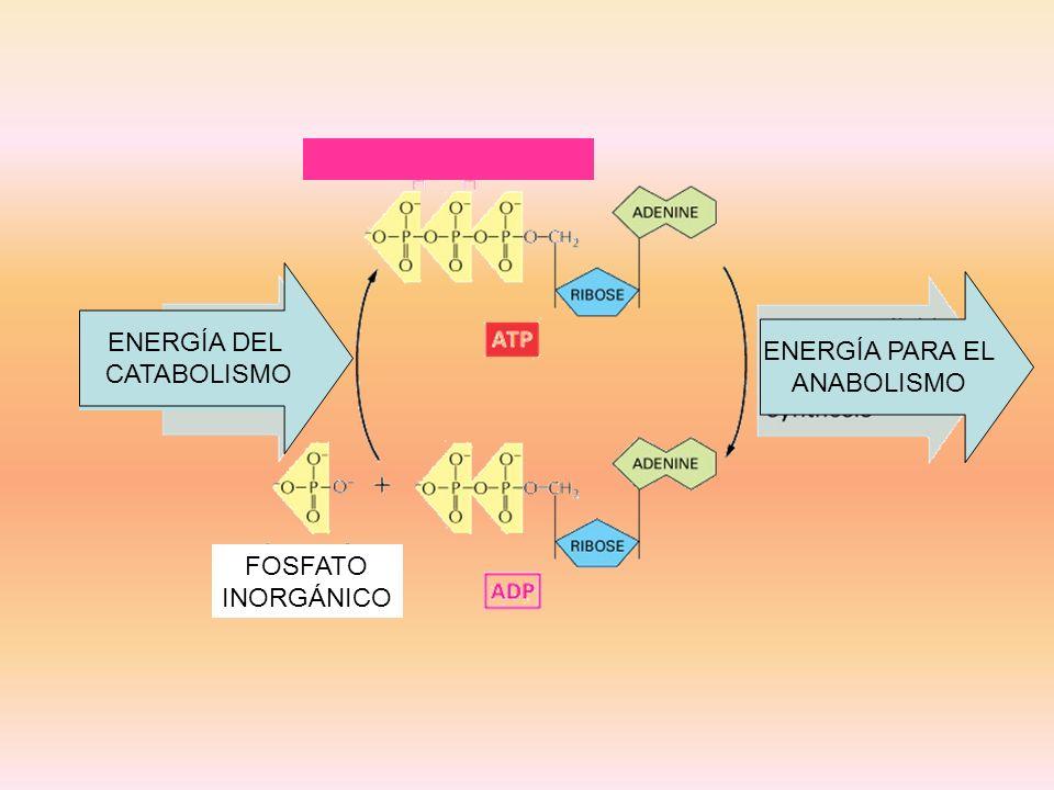 ENERGÍA DEL CATABOLISMO ENERGÍA PARA EL ANABOLISMO ENERGÍA DEL CATABOLISMO FOSFATO INORGÁNICO
