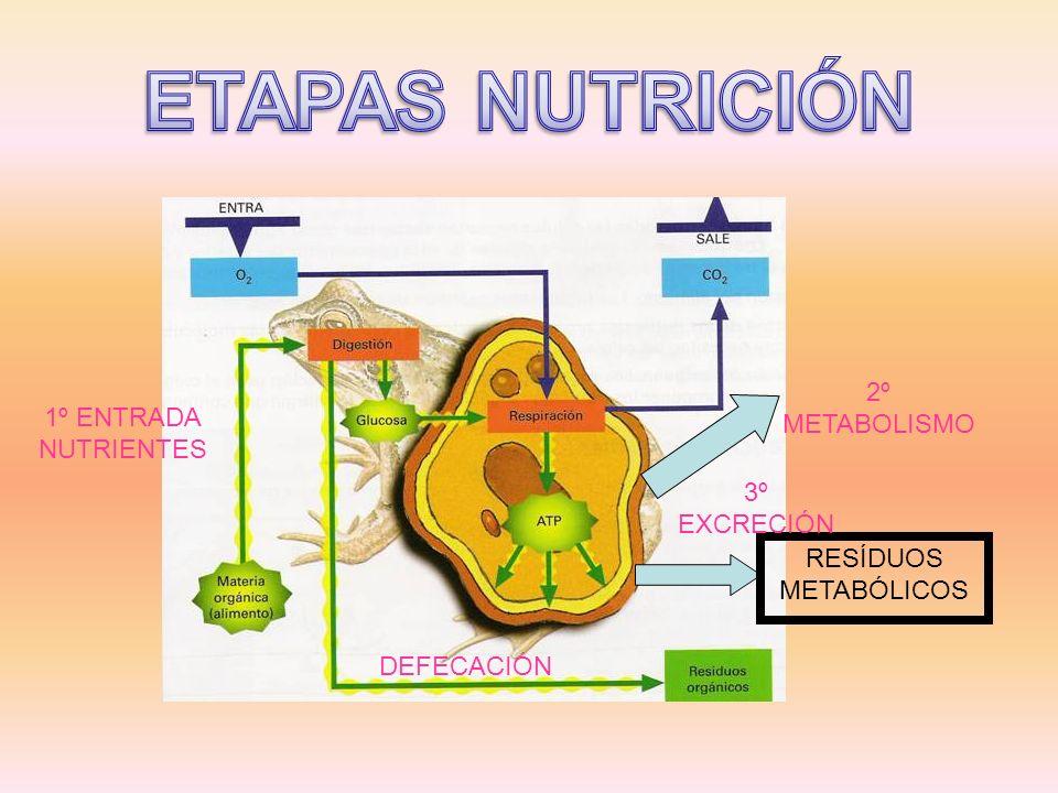 ETAPAS NUTRICIÓN 2º METABOLISMO 1º ENTRADA NUTRIENTES 3º EXCRECIÓN