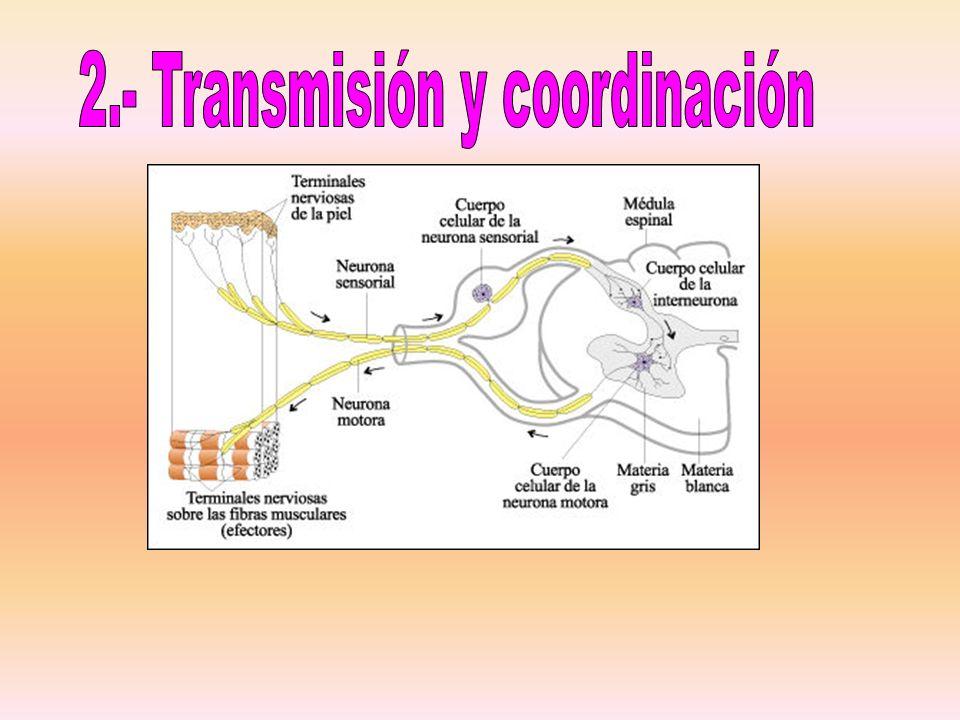 2.- Transmisión y coordinación