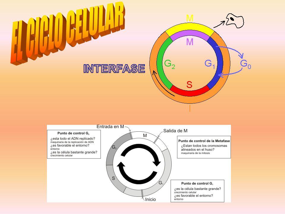 EL CICLO CELULAR INTERFASE