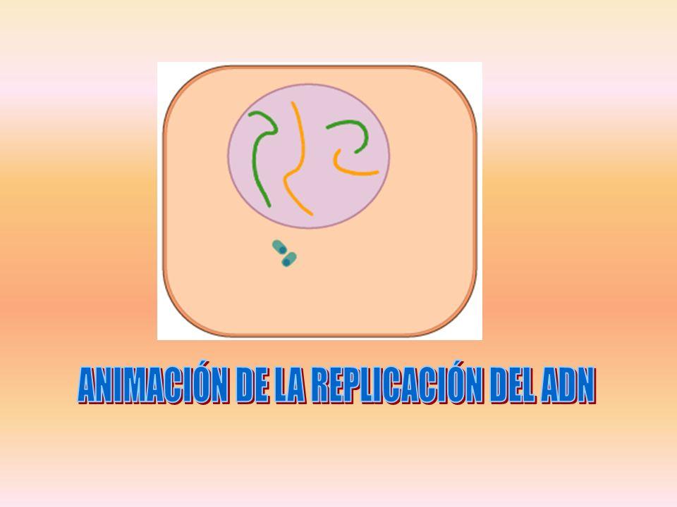 ANIMACIÓN DE LA REPLICACIÓN DEL ADN