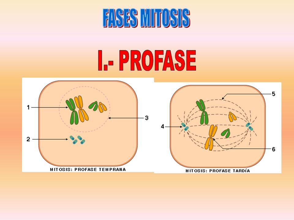 FASES MITOSIS I.- PROFASE